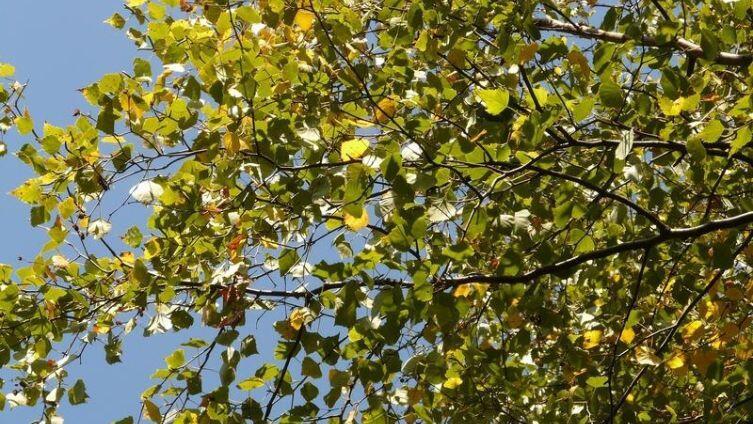 Тополь. Что происходит с деревом, когда его обрезают?