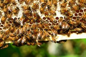 Как возникло современное пчеловодство?