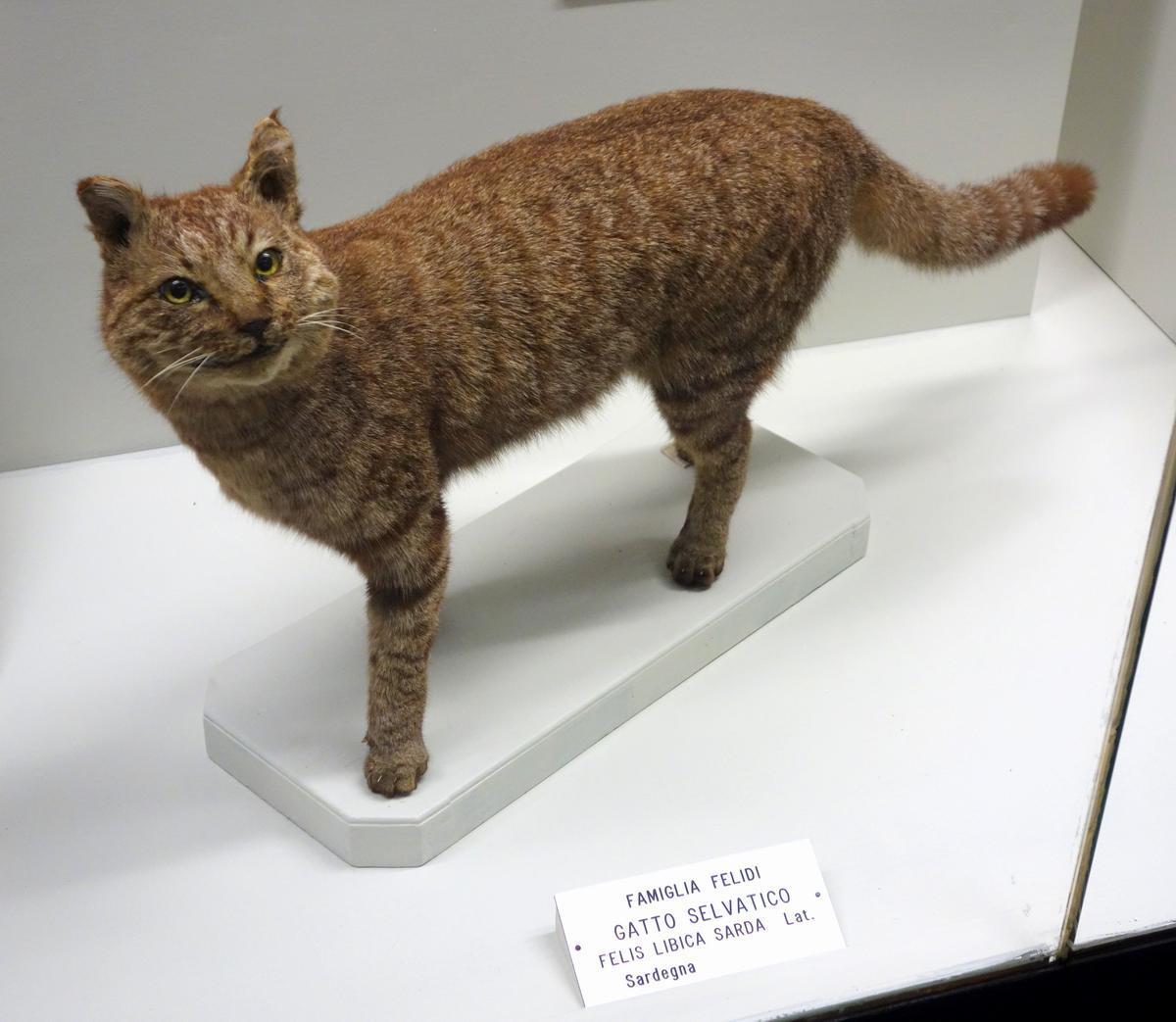 Ливийская, или степная кошка.