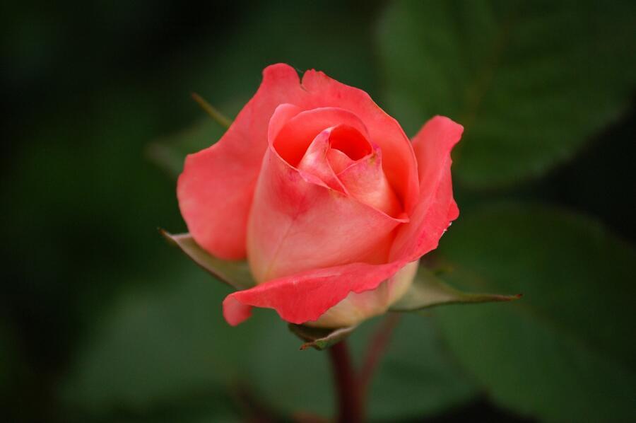 Как приготовить ликёр из чайной розы?