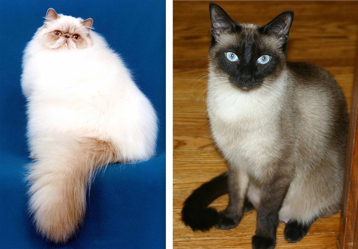 Персидская и сиамская кошки.