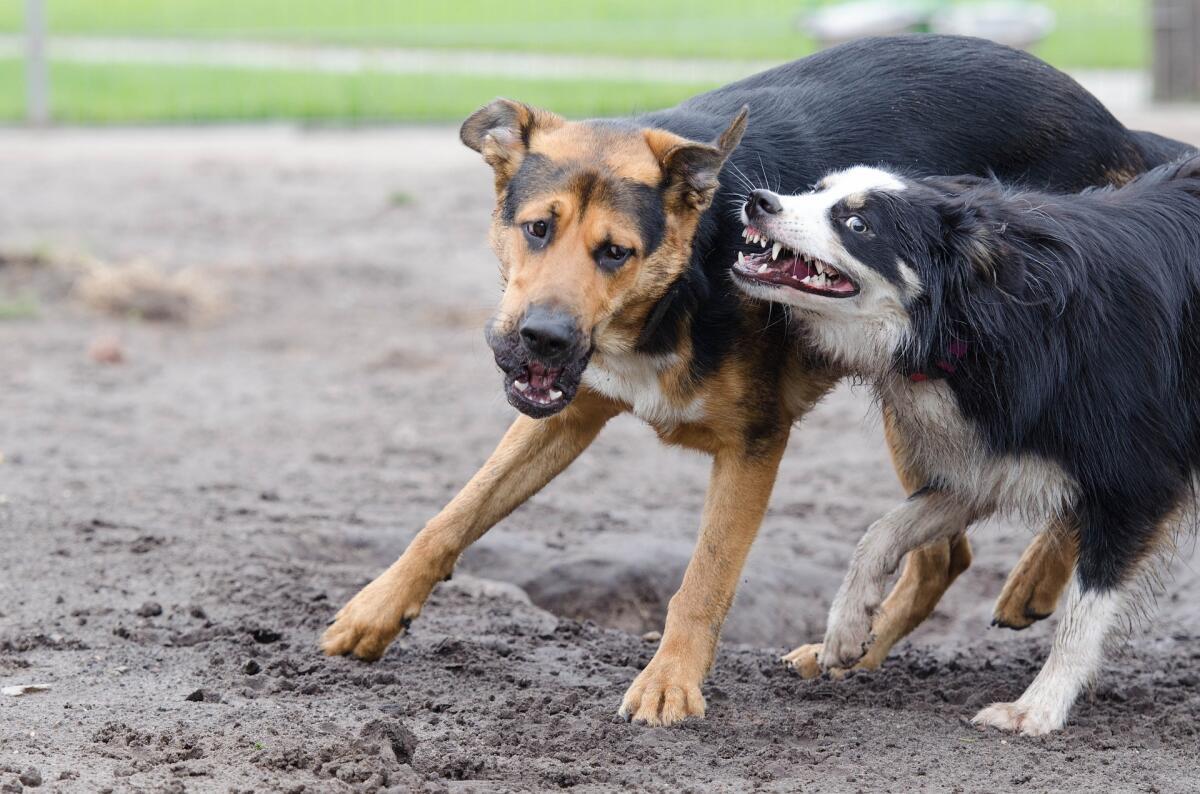 Сзади рычащая собака может подойти почти вплотную, но стоит оглянуться и она отступит