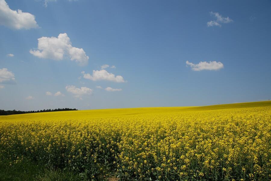 Сурепка считалась сорняком, сейчас выращивается в промышленных масштабах
