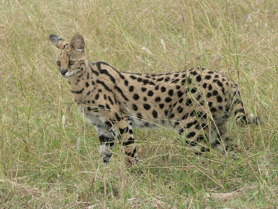 Какую кошку называют «гепардом для бедных»?