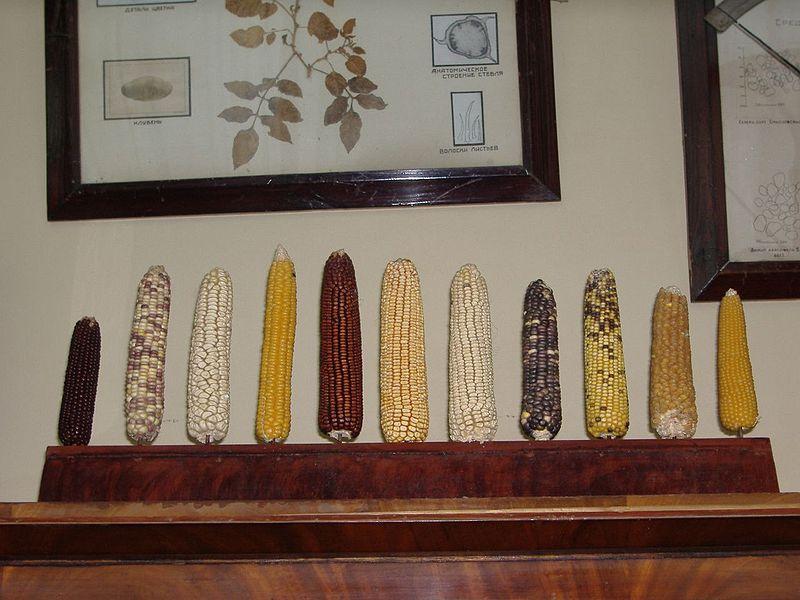 Коллекция початков кукурузы в кабинете Николая Вавилова во Всероссийском институте растениеводства