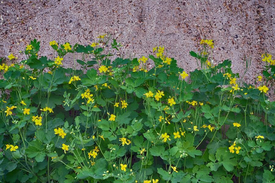 Чистотел - трава применяемая для удаления бородавок в народной медецине