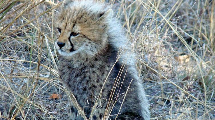 Детёныш гепарда.