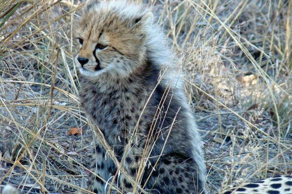 Почему гепард больше похож на гончую собаку, чем на кошку?