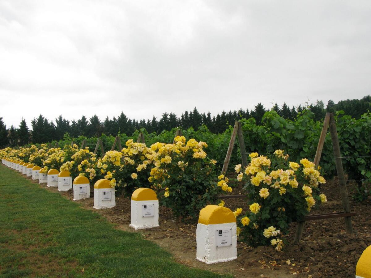 Виноградники в Шампани защищены от ветра хвойными посадками