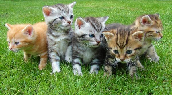 Как вырастить котёнка с шикарной шубкой? Личный опыт и схема кормления