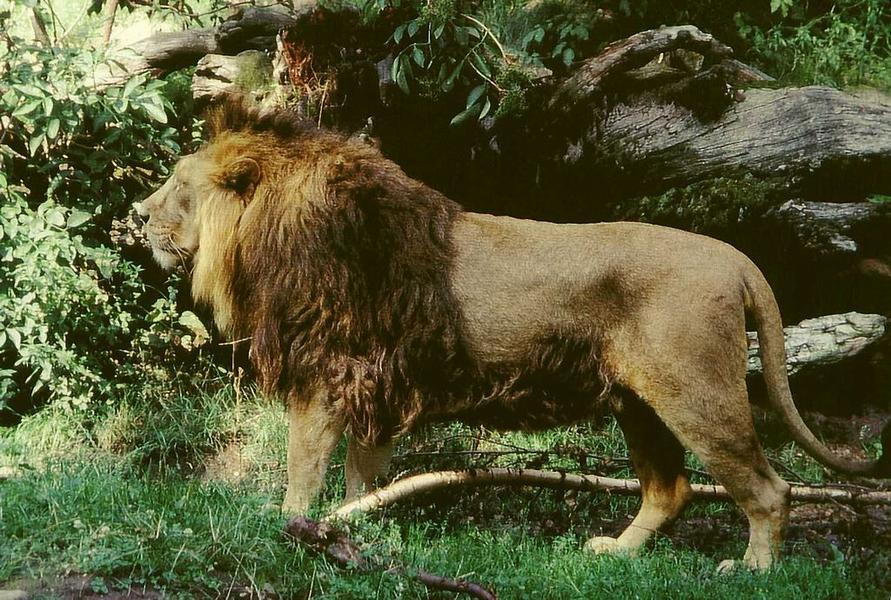 В отличие от африканского собрата азиатский лев более приземистый, а грива его не столь пышная и густая