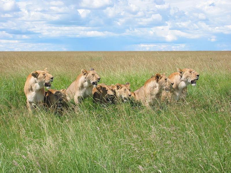 Львицы в прайде.