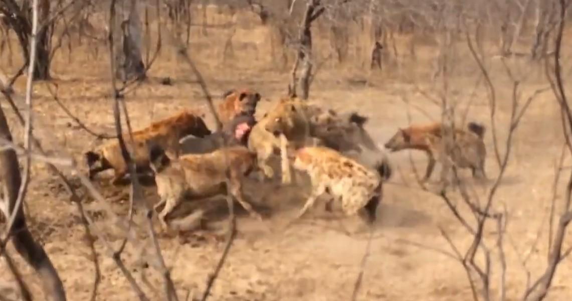 Львы отбивают добычу у гиен