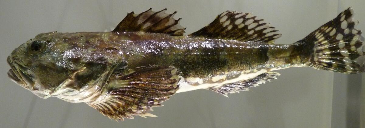 Мраморный керчак (Myoxocephalus stelleri)