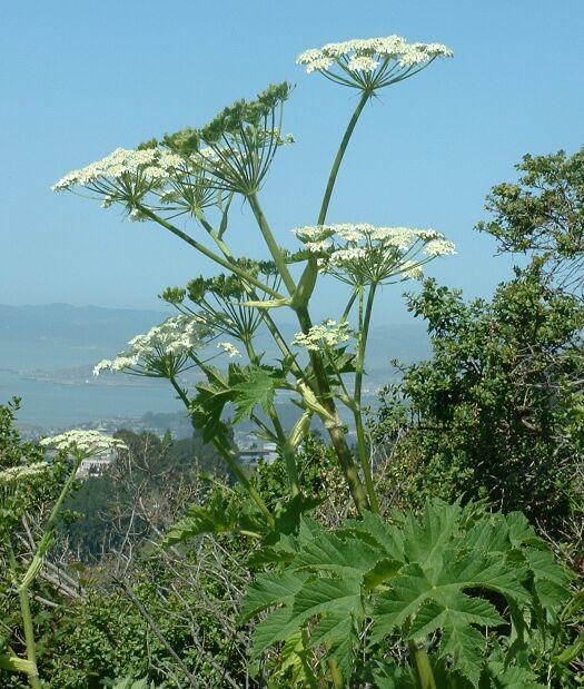 Цветки и листья борщевика обыкновенного