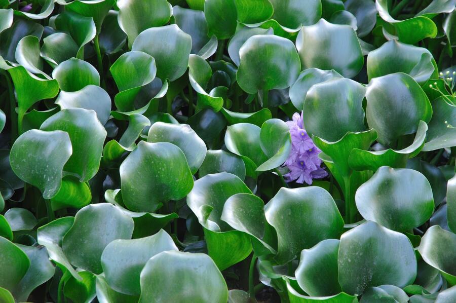 Эйхорния - зелёная чума. Чем примечательно это растение?