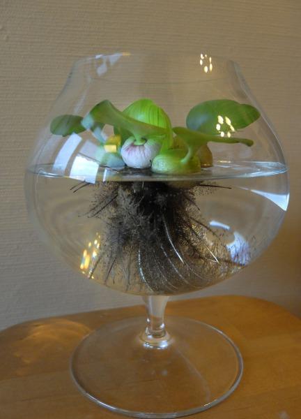 Корневая система водяного гиацинта хорошо развита