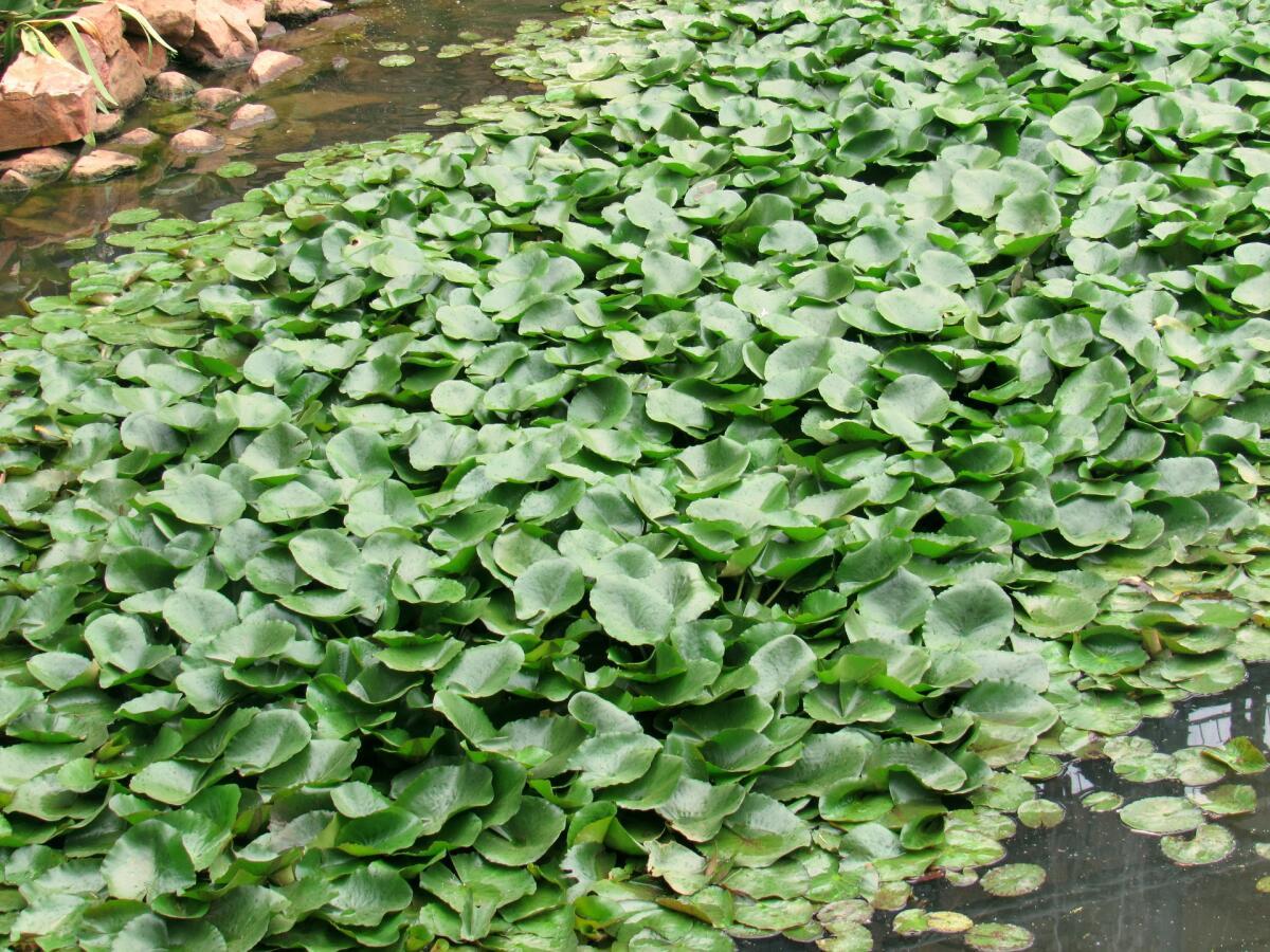 Водяной гиацинт заглушает и без того небольшие реки