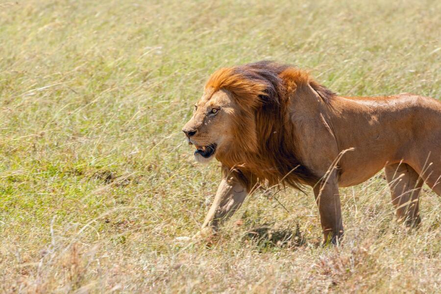 Лёньку на царство?! Почему льва называют царём зверей?