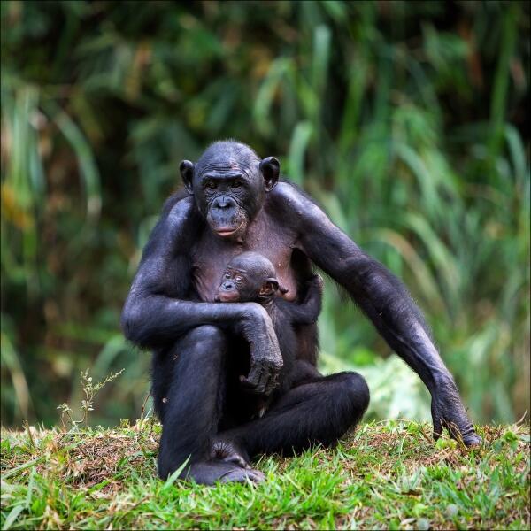 В Африке местные племена употребляют в пищу мясо обезьян