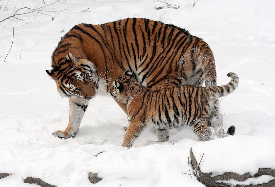 Амурская тигрица с тигрёнком