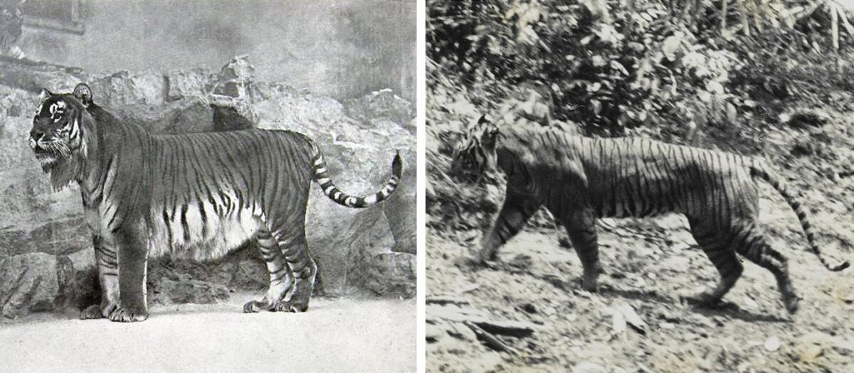 Два исчезнувших вида тигра на старых фото – туранский и яванский