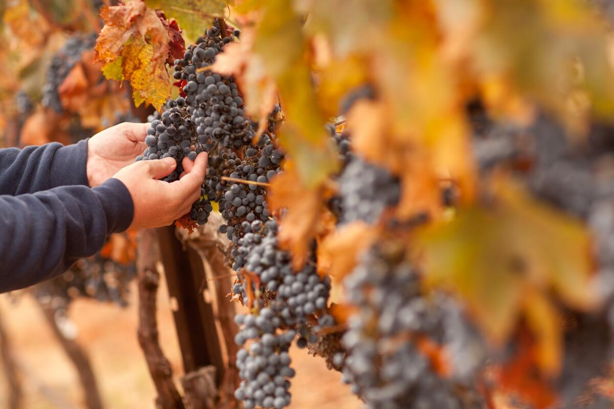 Фермер осматривает урожай винограда Spätburgunder