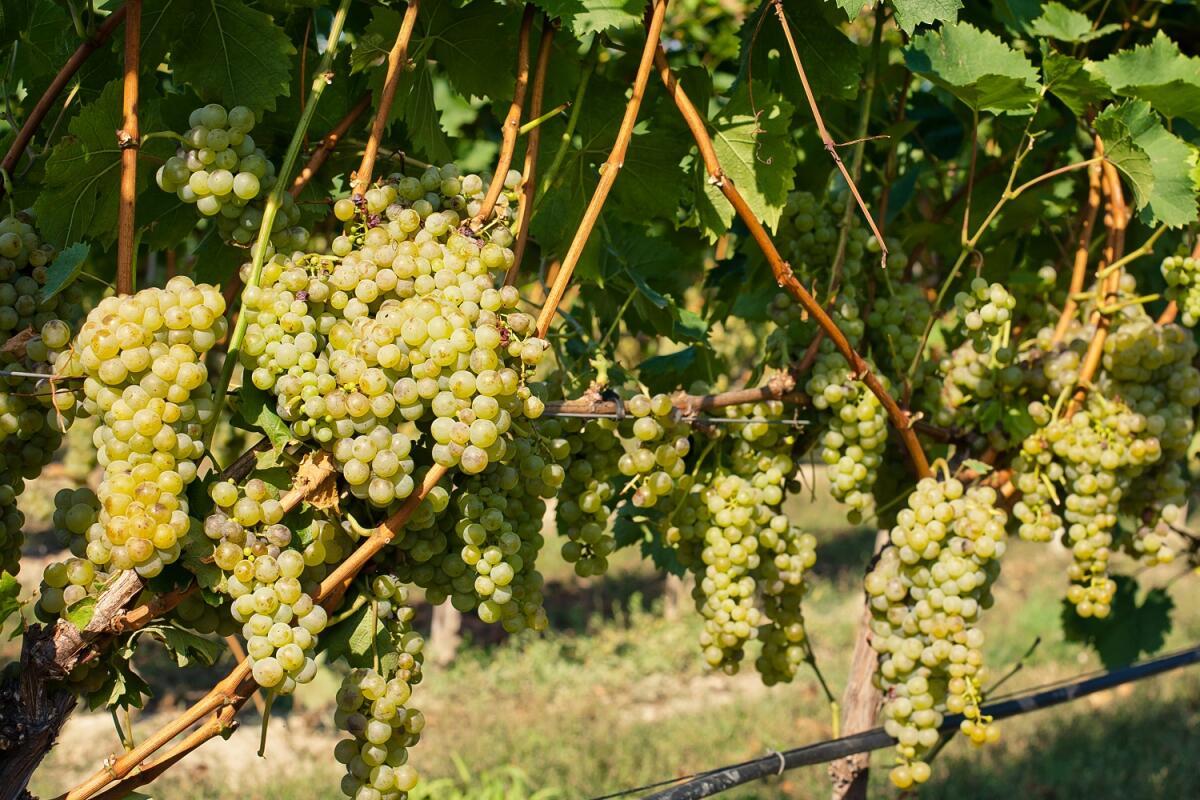 Виноград сорта Вайсбургундер