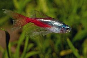 Какова история неоновой рыбки?