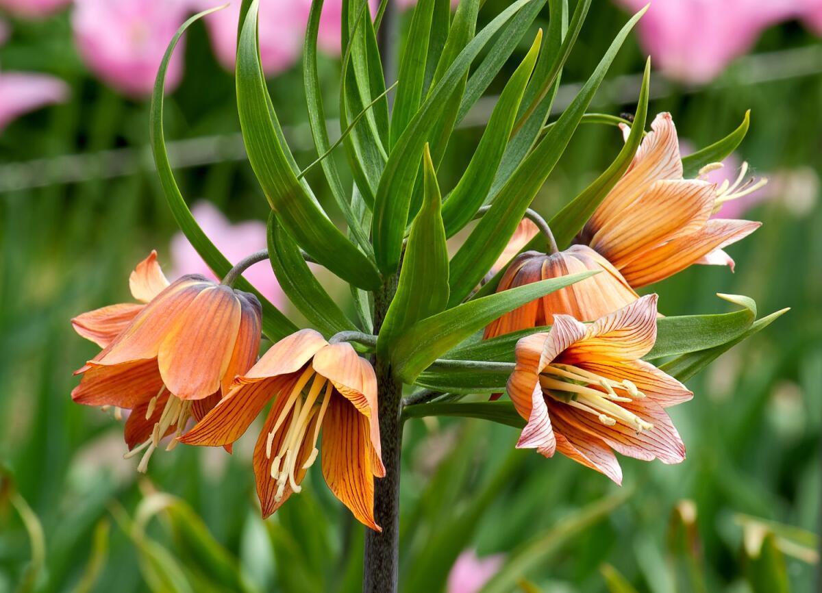 Говорят, цветок рябчик императорский имеет вонючую луковицу, от которой кроты сбегают