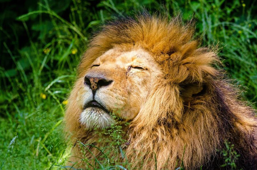 Символом чего выступал лев в Африке, Азии и Европе?