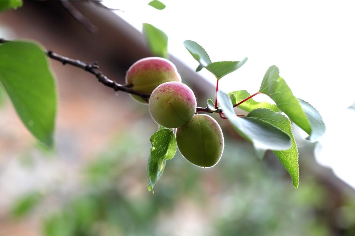 Незрелые абрикосы