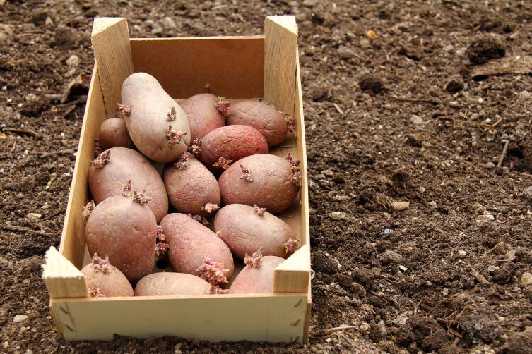 Световое проращивание клубней перед посадкой выявляет больные клубни