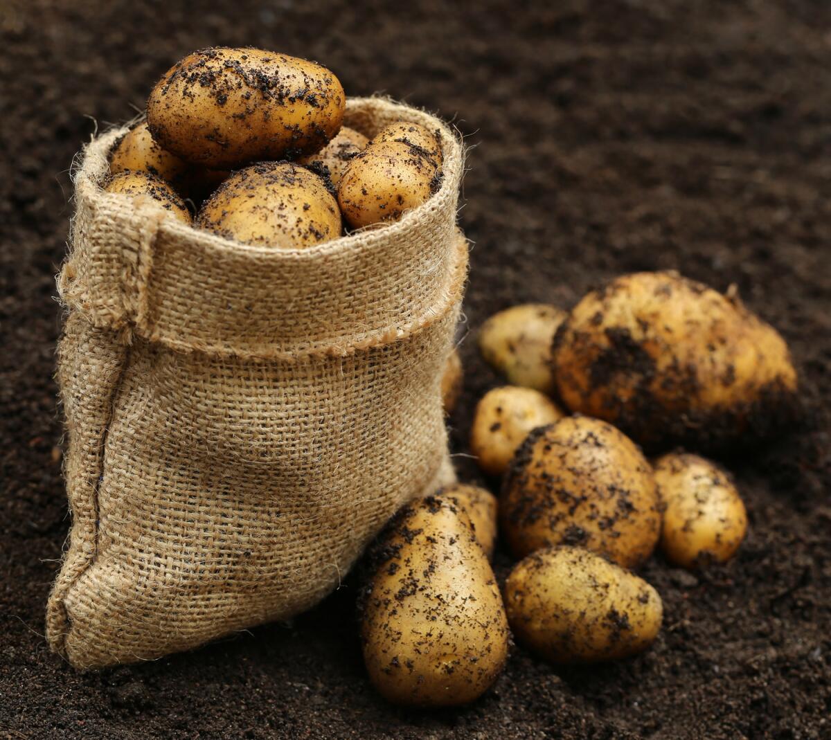 Выкопанный картофель лучше перебрать через 3-4 недели
