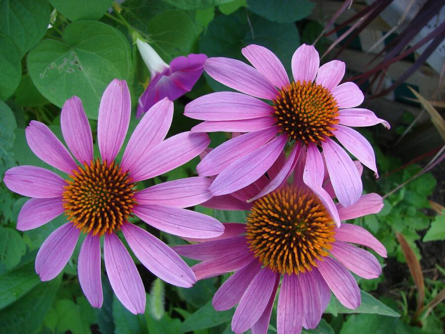 Эхинацея пурпурная в полном цвету