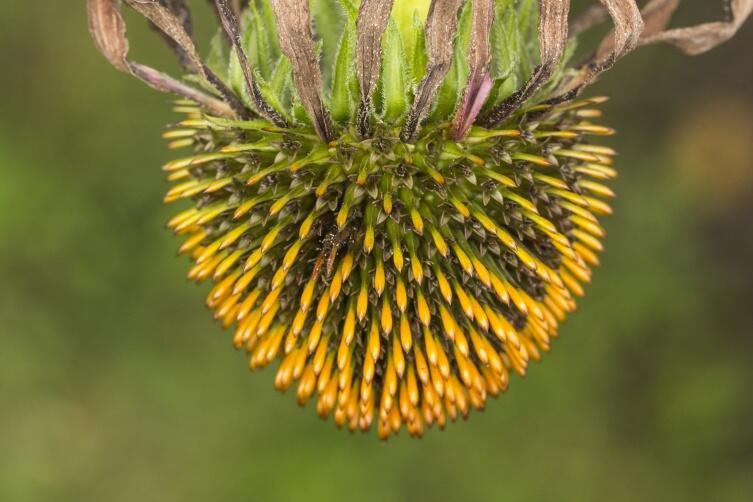 Эхинацея - многолетнее растение из семейства Астровые, или Сложноцветные