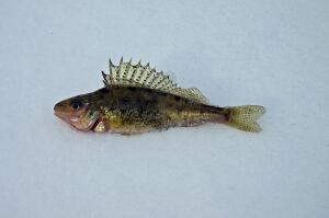 Как почувствовать себя на рыбалке, будто рыба в воде? Про носаря