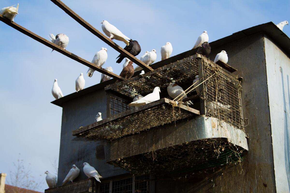 Теперь редко в городах встретишь голубятню