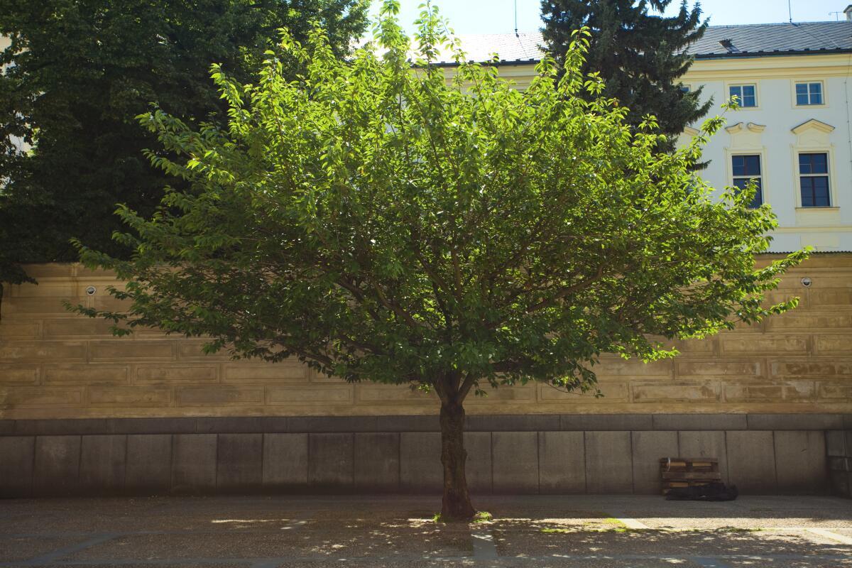 Если подрезать верхушку молодого дерева, оно будет расти вширь