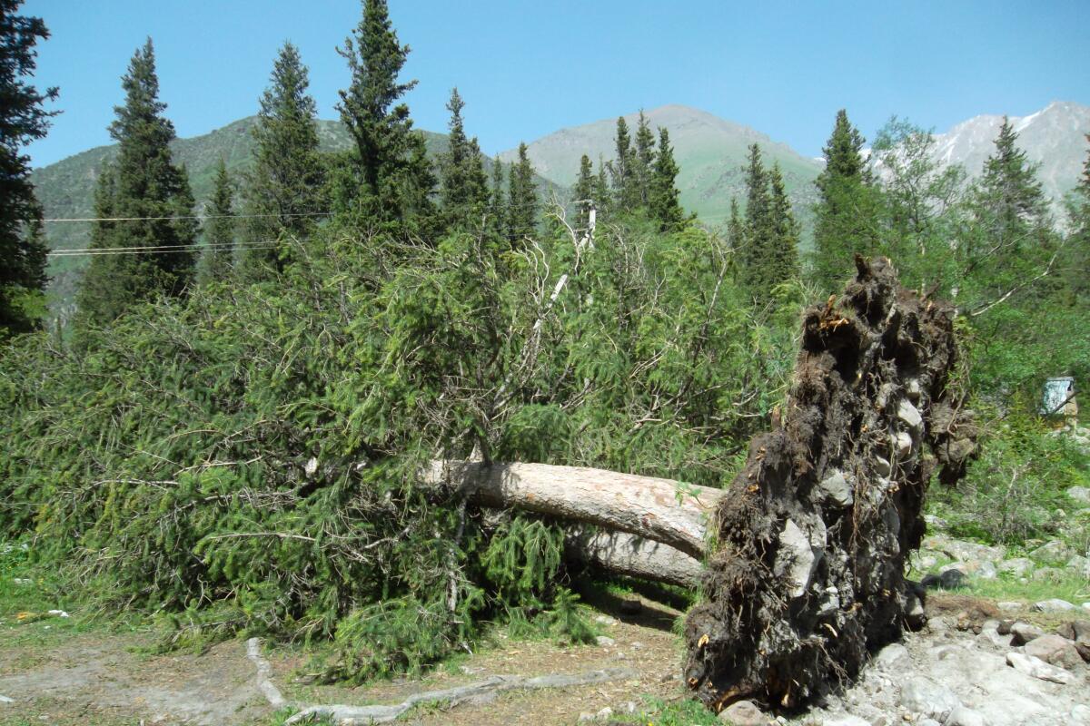 Слабая корневая система - основная причина падения деревьев