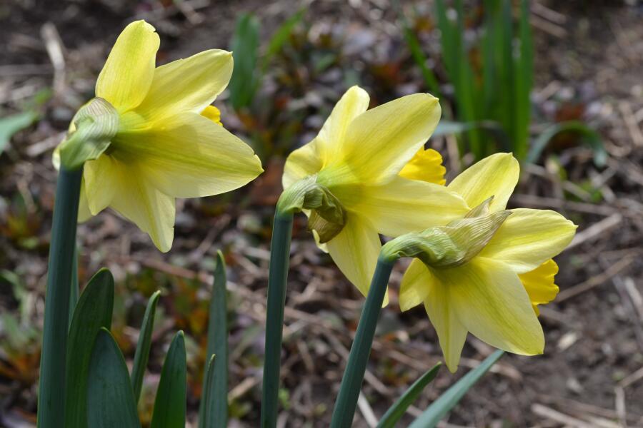 Жонкилия - цветок любви. Чем он интересен?