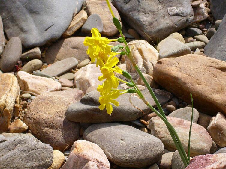 Нарцисс жонкилия
