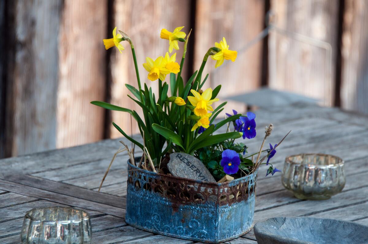 Жонкилию можно успешно выращивать в квартире