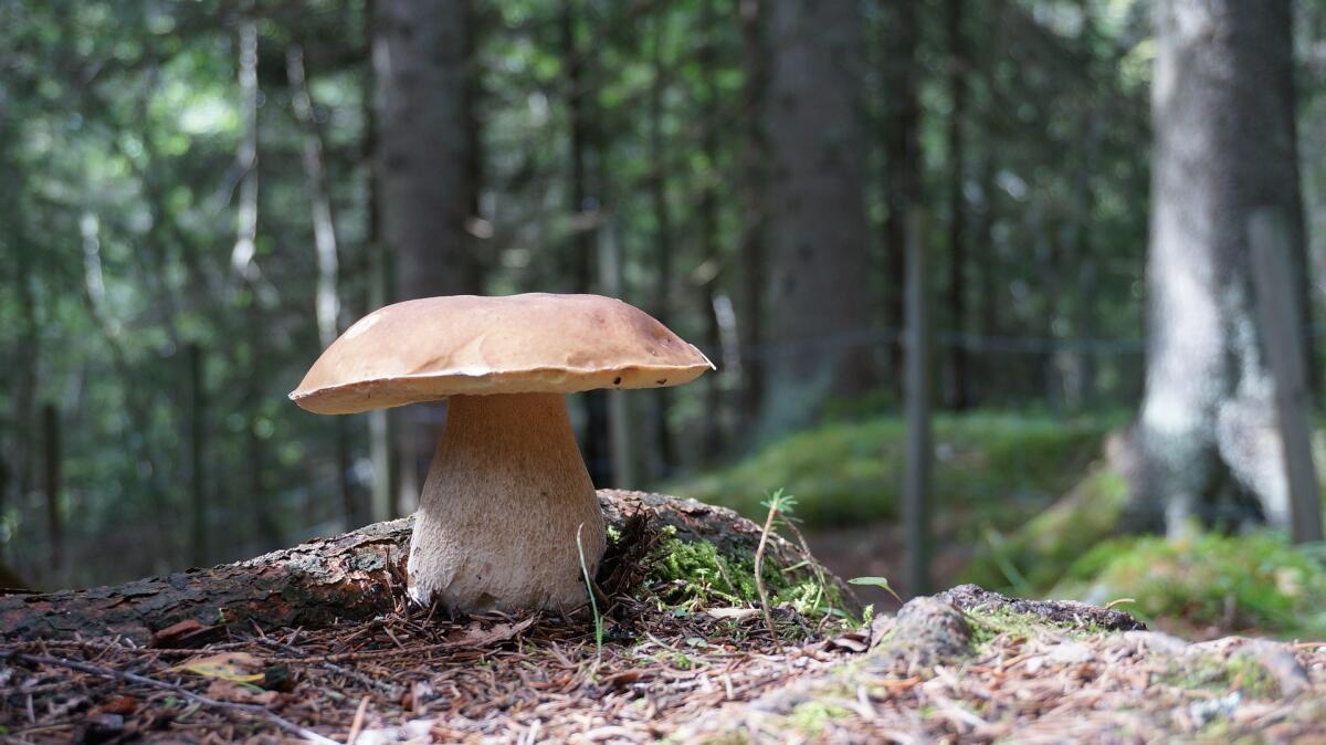 На просторах Беларуси произрастают белые грибы
