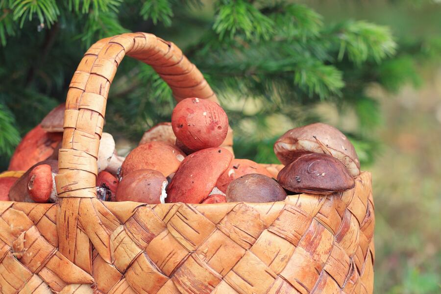 Как бороться с грибным урожаем?