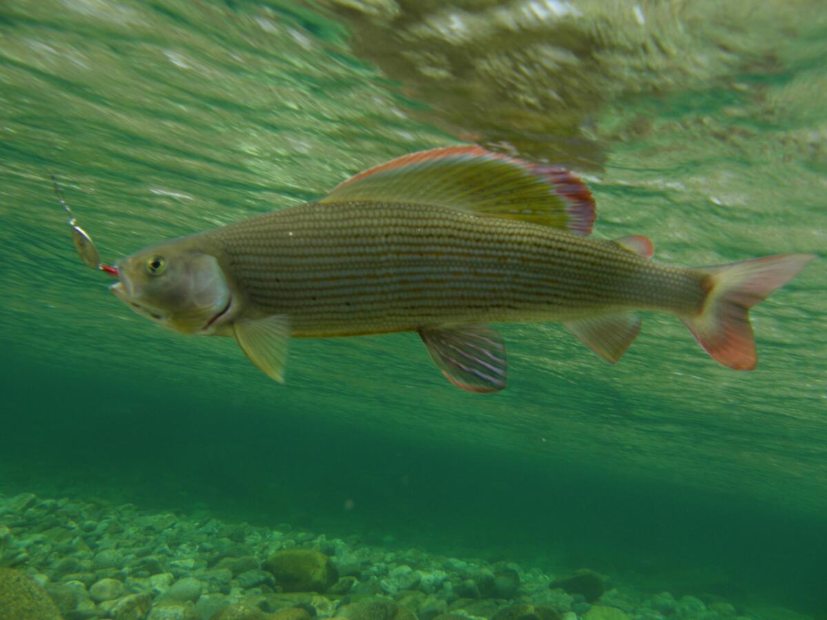 Хариус — рыба со стройным, вытянутым, веретенообразным телом