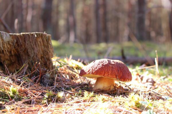 Как заморозить белые грибы?