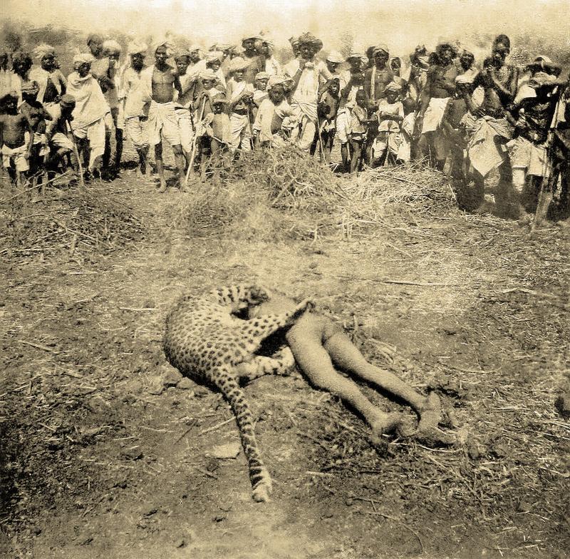Застреленный в 1901 году леопард-людоед со своей последней жертвой