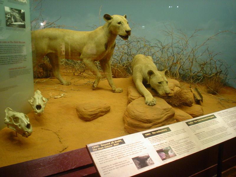 Чучела львов-людоедов из Цаво
