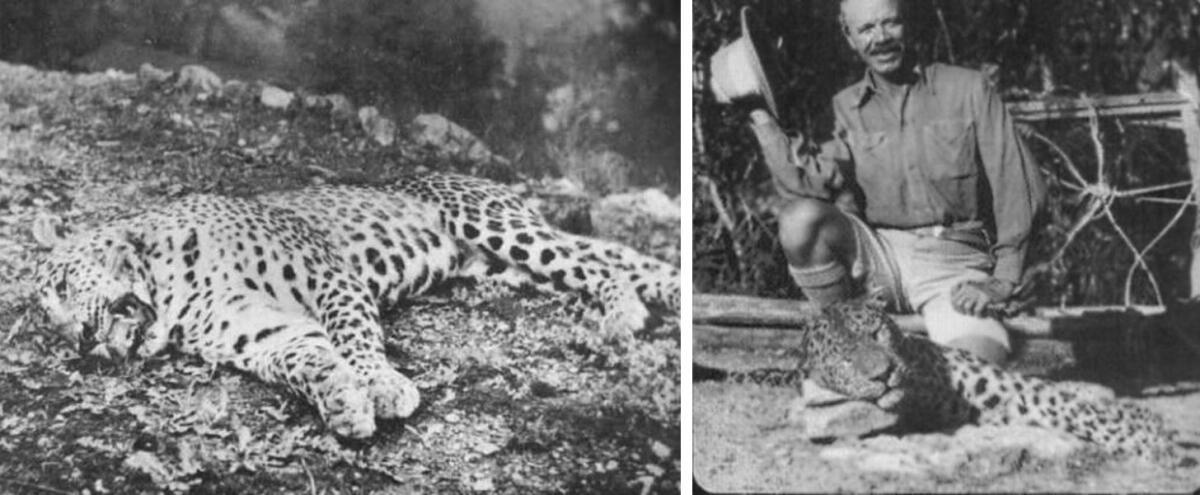 Людоеды, убитые Корбеттом. Слева - леопард из Панара, справа - леопард из Рудрапраяга